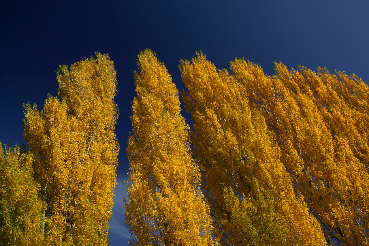 Golden Poplar Trees