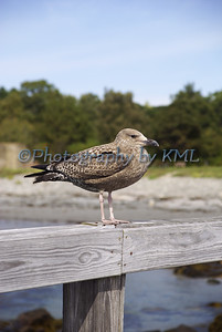 a young sea gull on a wood rail