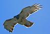 Red Tail Hawk 1