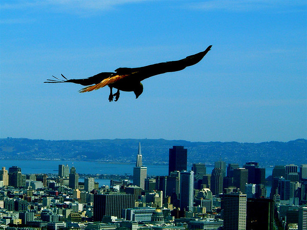 Twin Peaks lookout point in San Francisco, California offers great views of all the Bay's quintessential hot spots, from those impressive Golden Gates to Alcatraz Island.  The birds seem to enjoy the lookout, too!  We caught this golden eagle soaring in the breezes high above the city.