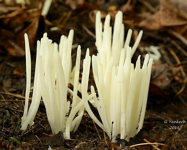 Worm-like Coral, Clavaria vermicularis