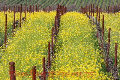 Between the lines, Napa Valley, CA