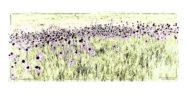 Cone Flowers on the Prairie, Illinois