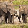 An elephant family has a tender moment on the banks of the Tarangire River during the dry season.