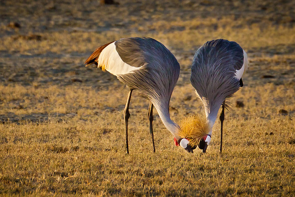 A pair of grey crowned cranes nibble for breakfast together in Ngorogoro. These cranes are known for the golden plummage atop their heads, and are the national birds of Uganda. Unfortunately, they are also a threatened species here in East Africa by illegal trade.