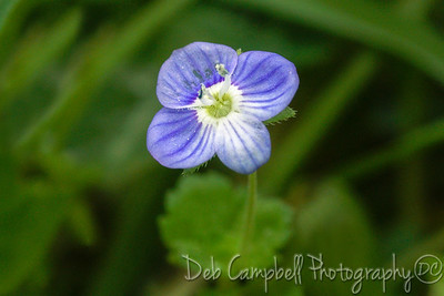 Bird's Eye Speedwell (veronica persica)