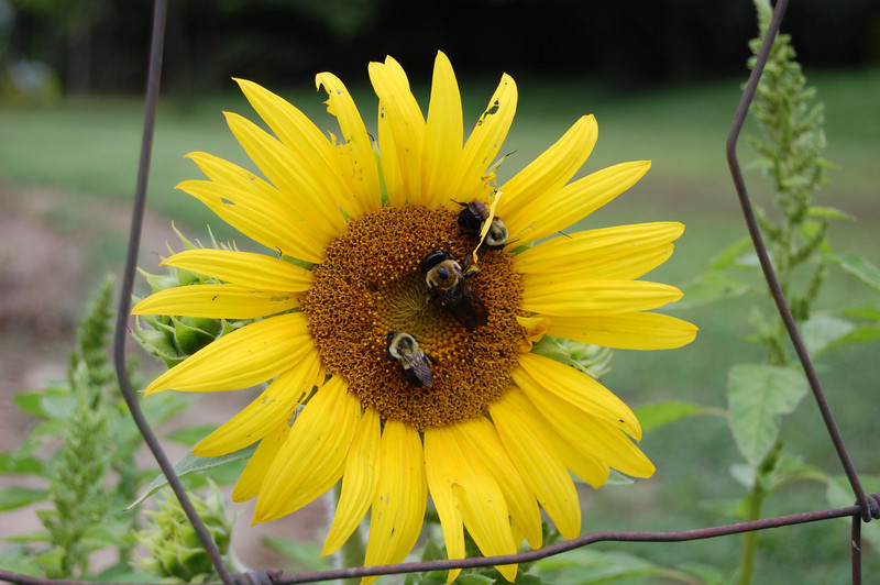 Bee happy for the Sunflower