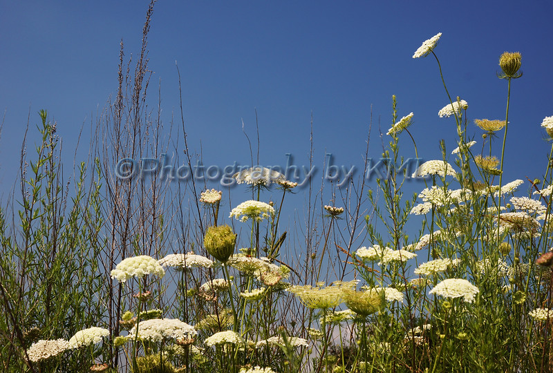 white queen anns lace flowers against a blue sky
