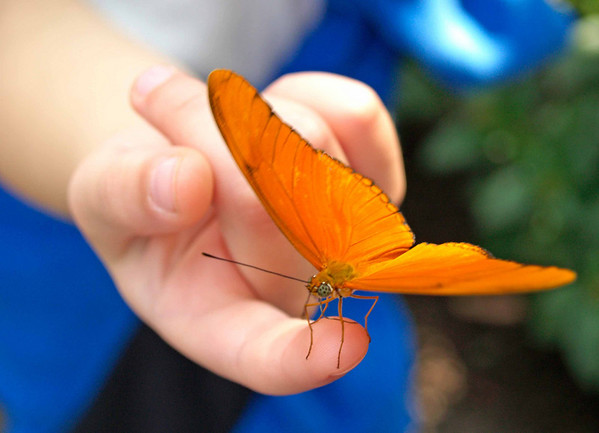 Orange Banded Butterfly