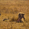 The spotted hyenas drag away the spine and skull of an (obviously) dead wildebeest. Hyenas are known as scavengers, but are also reputed to have the most intelligence and skill when on the hunt. A common strategy is for one hyena to go in and cause confusion in the herd, and then pack members pick off the older weak herd members and chase the rest away. Humans and hyenas often come into contact, and the Maasai people even leave their dead to be consumed by the hyenas.
