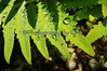 Water Drops on Fern