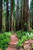 A Trail Through the Redwoods