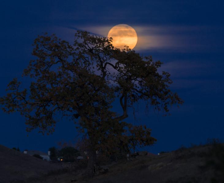 moonrise through oak tree