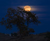 moonrise through oak tree