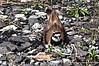 Killdeer on nest in gravel.