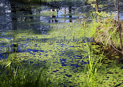 green lily pads in the swamp