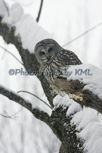 barred owl in a tree during a snowstorm