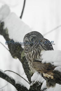 an owl sleeping in a tree during a snowstorm