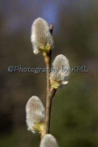 pussy willow buds int he spring