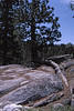 4*Fri, Jul 5, 1968<br /> *People:<br /> Subject: 225 yr Jeffery Pine<br /> *Place: near Columns of Giants, Eureka Valley, Stanislaus NF, Sonora Pass<br /> Activity: camp<br /> Comments: 40 ft of root exposed, 100 yr
