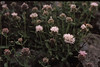 3*Fri, Jul 5, 1968<br /> *People:<br /> Subject: pink flowers<br /> *Place: Sonora Pass<br /> Activity: <br /> Comments: