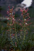 4*Fri, Jul 5, 1968<br /> *People:<br /> Subject: Penstemon<br /> *Place: Sonora Pass<br /> Activity: camp<br /> Comments: