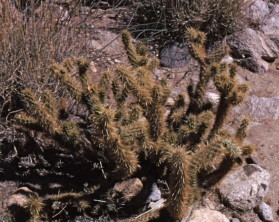 3*Tue, Mar 19, 1968<br /> *People:<br /> Subject: Buckhorn Cholla<br /> *Place: Borrego<br /> Activity: <br /> Comments: