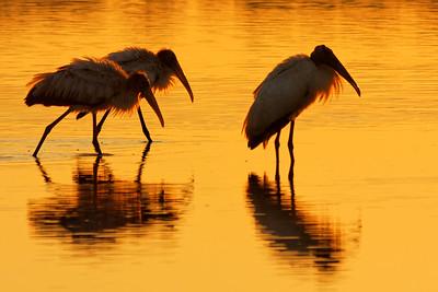 Wood Storks - St Marks NWR, Florida