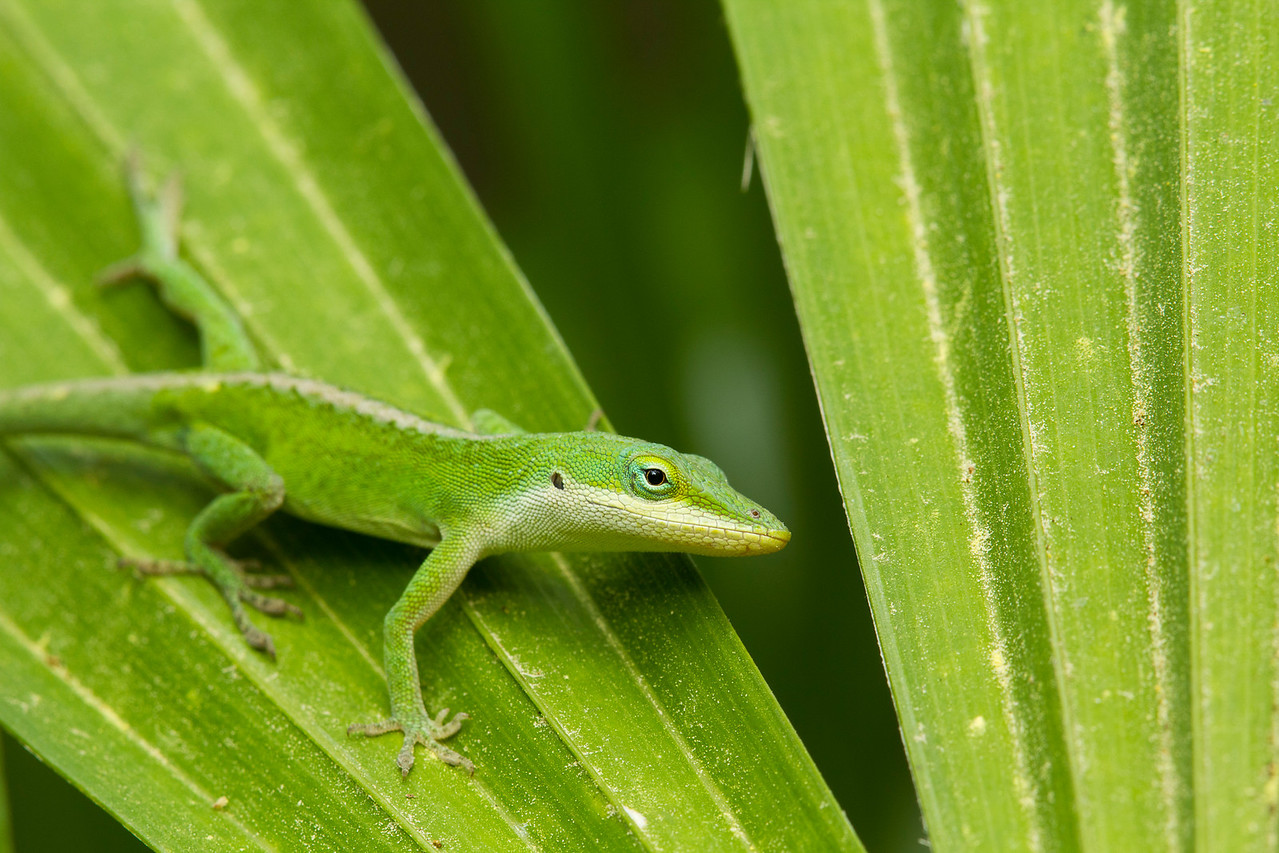 Green Anole - Alfred B. Maclay Gardens State Park, Florida