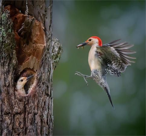 3. Landing Woodpecker - Anastasia Tompkins, PSA Score 12
