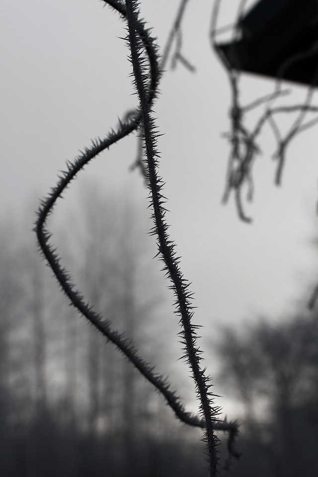 Frost or thorns?