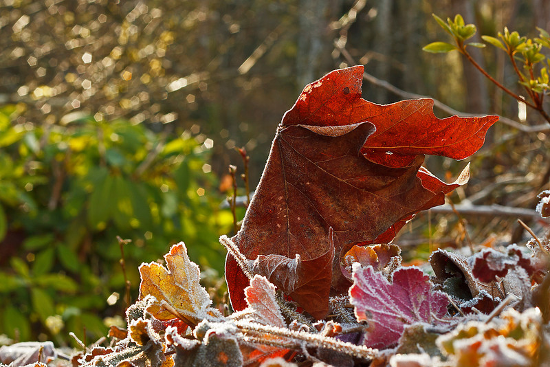 Morning frost.  These leaves just seemed to be frozen in time.