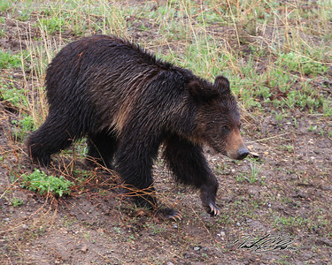"Just after a heavy downpour this little guy wandered out of the woods just in front of us. I assumed it was a young black bear when I took the picture, but once I saw this on my computer screen I changed my mind, now I'm fairly certain its a Grizzly Cub. The Shoulder stripe, ""frosted"" highlights, long white claws and rounded ears all suggest this is a year old Grizzly."