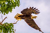 Bald Eagle at the Salamonie Reservoir in Indiana...