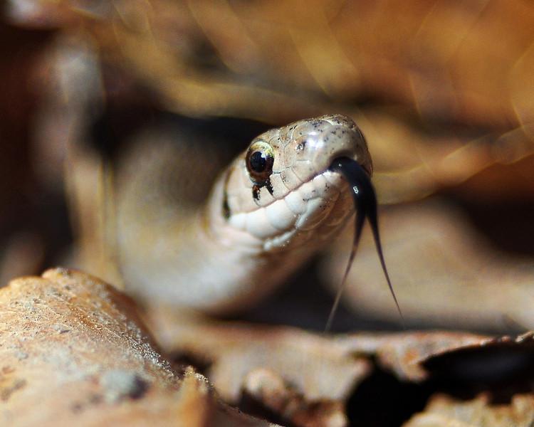 King Cobra....errr...ok...Garter Snake!