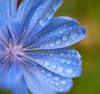 Wild Chicory In the Rain...