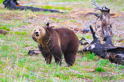She looks angry but never displayed any aggression as she wandered by Yellowstone Lake in the early evening.