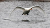 Mute Swan's wingtips touch the water in flight.