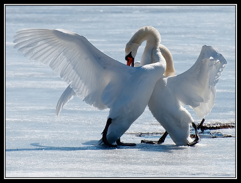 Two Mute Swans Fighting