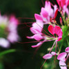 Spider like Cleome