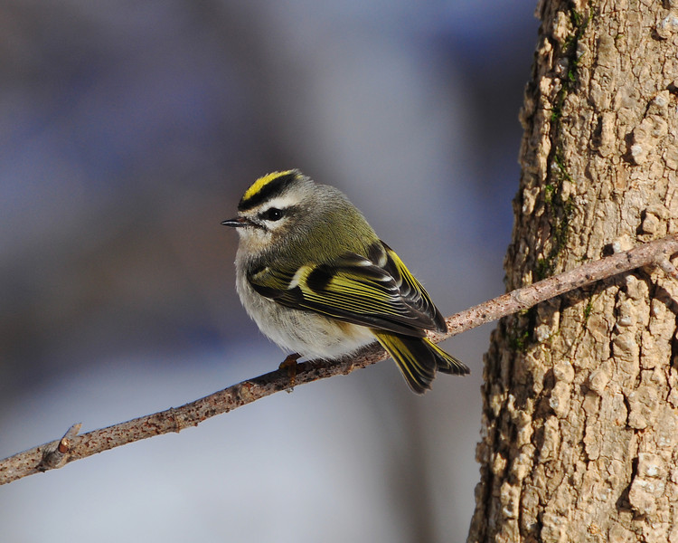 Golden-crowned Kinglet...