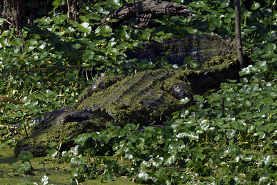 American Alligator at Brazos Bend SP