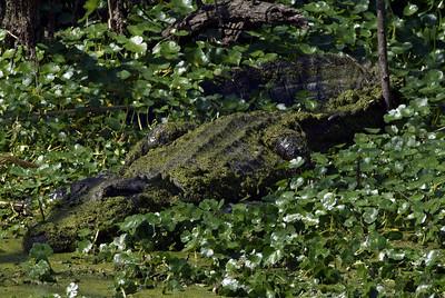 American Alligator at Brazos Bend SP