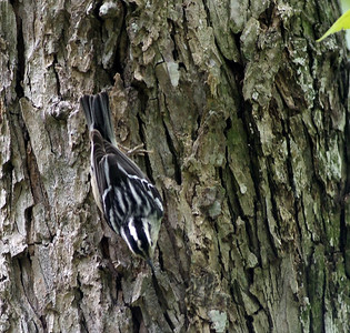 Black and White Warbler at Quintana Bird Sancturary