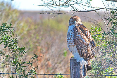 500_4183_Red_tailed_Hawk