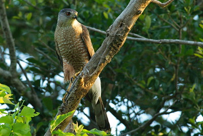Coopers_Hawk_Rule3s+Diagonal_FLT8302