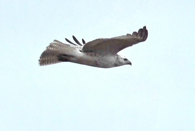 The Hawk Looking for Prey