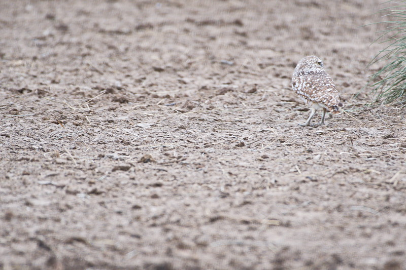 Borrowing Owl in a Plowed Field:  Anahuac NWR