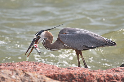 05202017_Texas_City_Dike_Great-Blue_Heron_500_0222