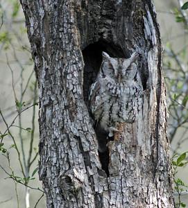 Eastern Screech Owl in Bentsen State Park